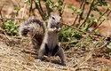 Veverky kapské žijí v jedněch z nejteplejších a nejsušších oblastí světa