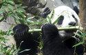 Bambus je pro pandy životně důležitý, protože ničím jiným se neživí