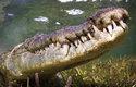 Krokodýl mořský je největším a nejnebezpečnějším plazem