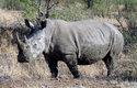 Nosorožec tuponosý patří k nejohroženějším druhům