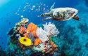 Na korálových útesech jsou doma i mořské želvy včetně ohrožených karet pravých (Eretmochelys imbricata)