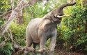 Hustým podrostem pralesa si sloni prorážejí cestu za pomocí klů