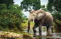 Protože část potravy slonů tvoří ovoce, podílejí se na šíření některých druhů na nová místa v pralese