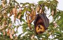 Válka s kaloni: Pěstitelé ovoce na ostrově Mauricius vyhlásili plodožravým kaloňům válku