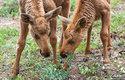Losice rodí obvykle jedno mládě, porod dvou až tří je výjimečný