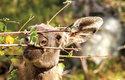 Tlama losů je uzpůsobena ke spásání listů a větviček dřevin