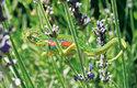 Až 15 cm dlouhý chameleon trpasličí (Bradypodion pumilum) patří k větším druhům