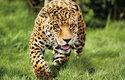 Samci jaguárů, kteří jsou větší než samice, mohou vážit přes 100 kg