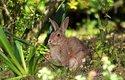 V Austrálii to divoký králík dotáhnul až na přírodní pohromu