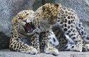 Samice levharta manžudský s mládětem