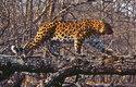 Životním prostředím levhartů mandžuských jsou studené smíšené lesy