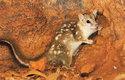 Kunovec severní je z australských kunovců nejmenší – samice váží kolem 0,5 kg, samci až1kg