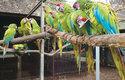 Ara zelený je spolu s arou zelenokřídlým největším druhem, měří až 90 cm