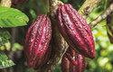 Plodem kakaovníku je masitá bobule žluté, červené či hnědé barvy