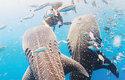 Samotářští žraloci se sdružují v oblastech s hojností potravy