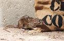 Potkan má ocas kratší než tělo, světlejší srst, tupý čenich a malé ušní boltce