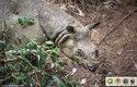Vědci poskytli vzácné fotografie k uveřejnění, aby upozornili na problém nosorožců jávských