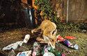 Bohatým zdrojem potravy je pro městské lišky okolí popelnic a kontejnerů na odpadky