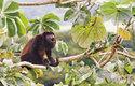 Řev, vřeštění a houkání samců vřešťanů, jímž si ohraničují teritorium, je slyšitelné na několik kilometrů