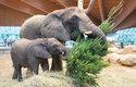 Neprodané vánoční stromky jsou oblíbenou pochoutkou slonů v zoo