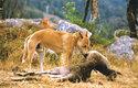 Hlavní kořistí dingů jsou větší druhy klokanů