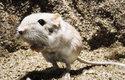 Tarbíkomyš pouštní je tak odolná, že žije i v nejsušší a nejteplejší poušti světa – v Údolí smrti