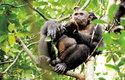 První fotografie, která potvrzuje, že šimpanzi loví a požírají želvy