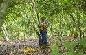 Nejvíce kakaa putuje do světa ze západní Afriky, například z Pobřeží Slonoviny