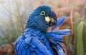 Ara Learův je nejvzácnější papoušek v novém pavilonu. Jednu dobu byl dokonce považován za vyhynulého. V přírodě žije výhradně v malé části brazilské Caatingy – v suché krajině porostlé trnitým bušem a kaktusy a křižované roklemi. Právě v jejich stěnách si arové hloubí hnízdní nory