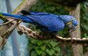 """Největší papoušek světa, ara hyacintový, bývá přezdíván """"modrým králem zelené Brazílie"""". Doma je v srdci Jižní Ameriky, včetně největšího mokřadu světa, Pantanalu. Odchyt pro trh s domácími mazlíčky jej ve 20. století přivedl téměř na pokraj vyhubení, dnes je přísně chráněný"""