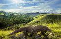 Varan komodský je posledním zástupcem obřích ještěrů, kteří byli součástí australské megafauny