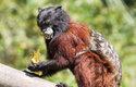 U tamarínů (včetně t. sedlového na obrázku) jsou na rozdíl od většiny primátů samice větší než samci