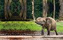 Sloni také požírají různé plody a svým trusem šíří jejich semena na velké vzdálenosti