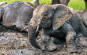Z bahna sloni získávají důležité minerály, které v rostlinné potravě často chybí