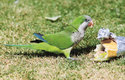 Papoušek mniší ve španělské Malaze – v boji proti nim pomůže i důsledný úklid zbytků potravin