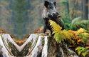 Podle genetických studií jsou evropští čuníci potomky evropských divokých prasat