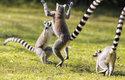 Lemur kata (Lemur catta) patří k větším druhům lemurů, měří téměř půl metru a váží přes 2 kg