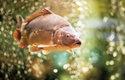 Kapr obecný (Cyprinus carpio) je i oblíbenou sportovní rybou, ti největší mohou být přes metr dlouzí a vážit až40kg