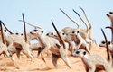 Surikaty (Suricata suricatta) tančí válečný tanec, který má zastrašit jejich sousedy