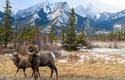 Ovce tlustorohé žijí v nadmořské výšce až 2600 metrů, v zimě se však stahují do nižších poloh