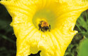 Tykvovité rostliny nabízejí čmelákům nektar, pyl si ale chrání