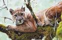 Puma americká (Puma concolor) z pohoří Santa Cruz se sledovacím obojkem, který jí nasadili vědci
