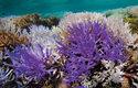 Korálové útesy v ohrožení: Větevníky (rod Acropora) z Nové Kaledonie blednou neonově fialovou barvou. V pozadí jsou typicky blednoucí korály