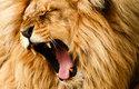 Za řev o síle až 114 decibelů vděčí lvi zejména tvaru svých hlasivek