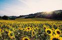 Čeleď hvězdnicovitých zahrnuje 32 tisíc uznaných druhů včetně slunečnic