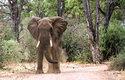 Slon africký se živí mladými stromky, které vytrhává ze země. Vytváří tak životní prostor menším obratlovcům