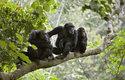 Někteří šimpanzí vůdci vládnou železnou pěstí, jiní vyznávají politické způsoby získávání moci