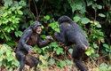 Silnější šimpanz má větší moc a vliv, ale nemusí se stát vůdcem