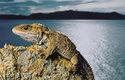 Vzhled hatérie z ostrovů Brothers zmátl vědce natolik, že ji považovali za nový druh