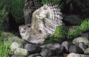 Při lovu v mělkých říčkách se největší sova světa výr Blakistonův brodí vodou